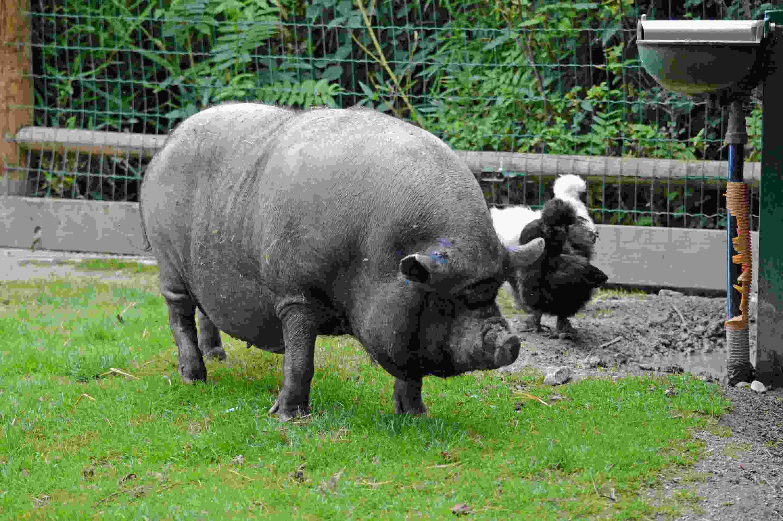 Cochon Vietnamien D Occasion En Belgique 38 Annonces